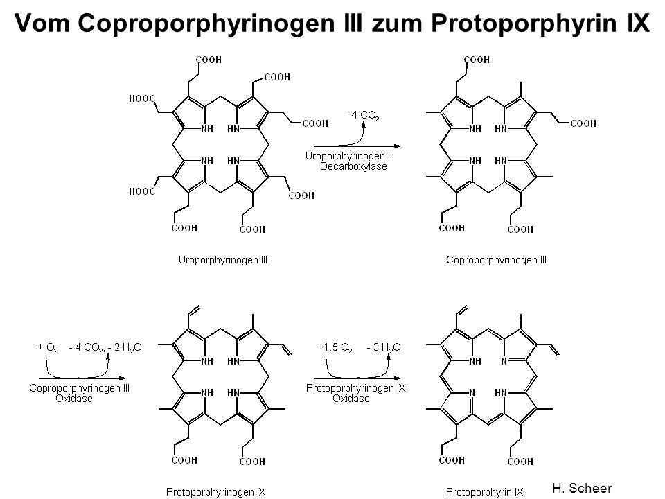 Vom Coproporphyrinogen III zum Protoporphyrin IX