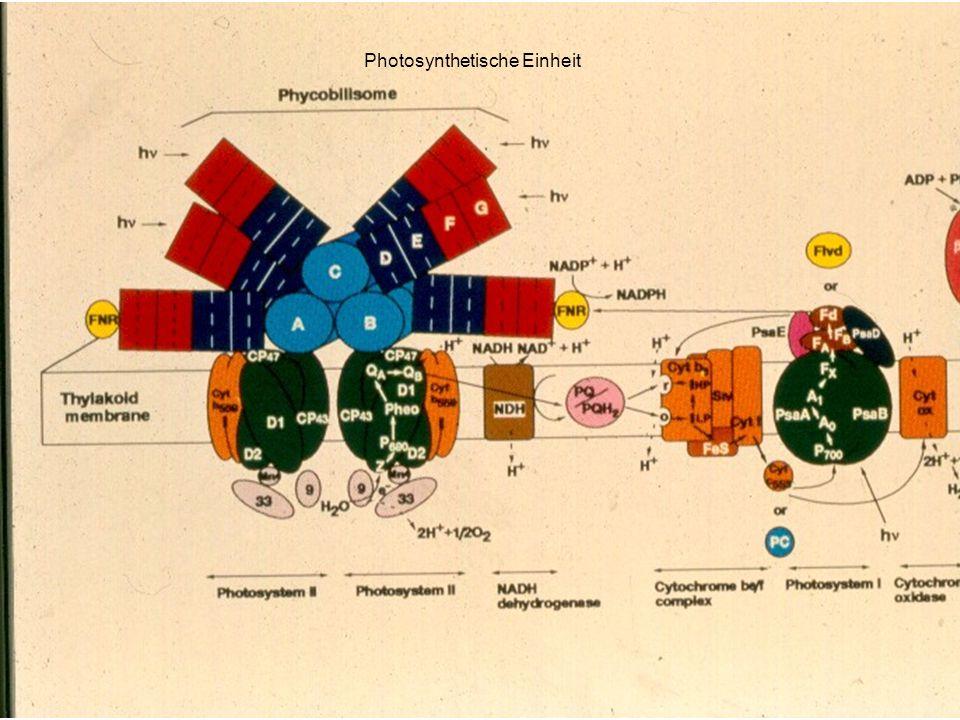 Photosynthetische Einheit