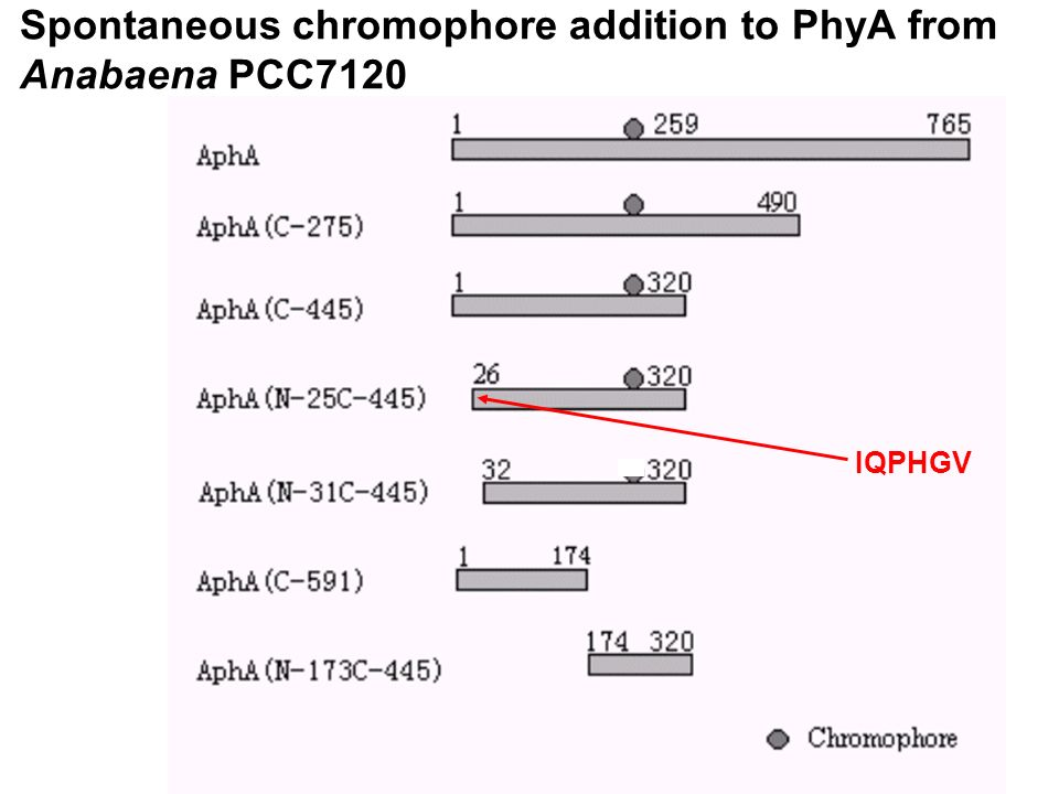 Spontaneous chromophore addition to PhyA from Anabaena PCC7120