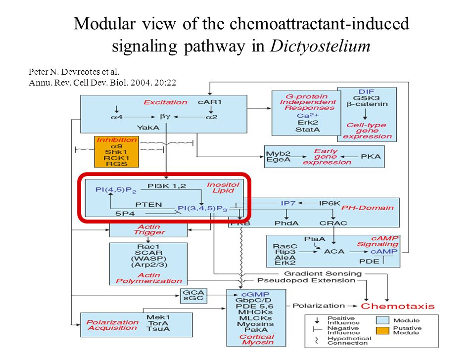 Modular view of the chemoattractant-induced signaling pathway in Dictyostelium