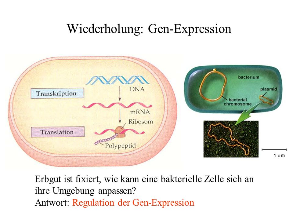 Wiederholung: Gen-Expression