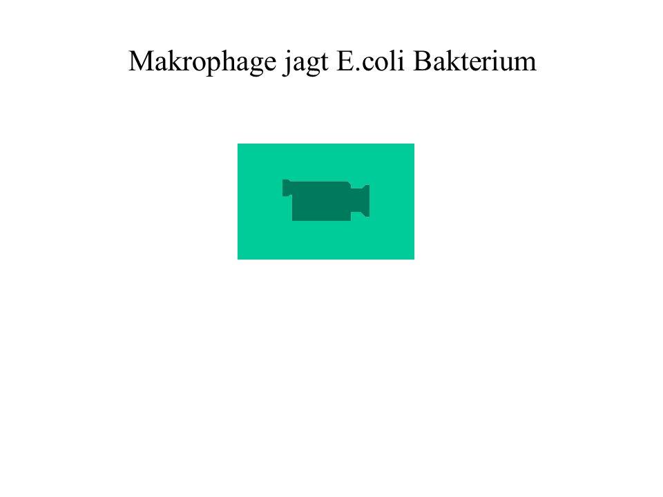 Makrophage jagt E.coli Bakterium