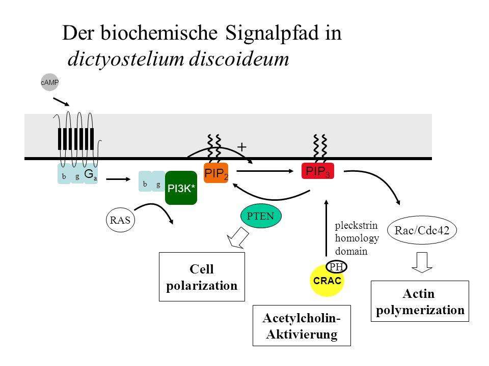 Der biochemische Signalpfad in dictyostelium discoideum