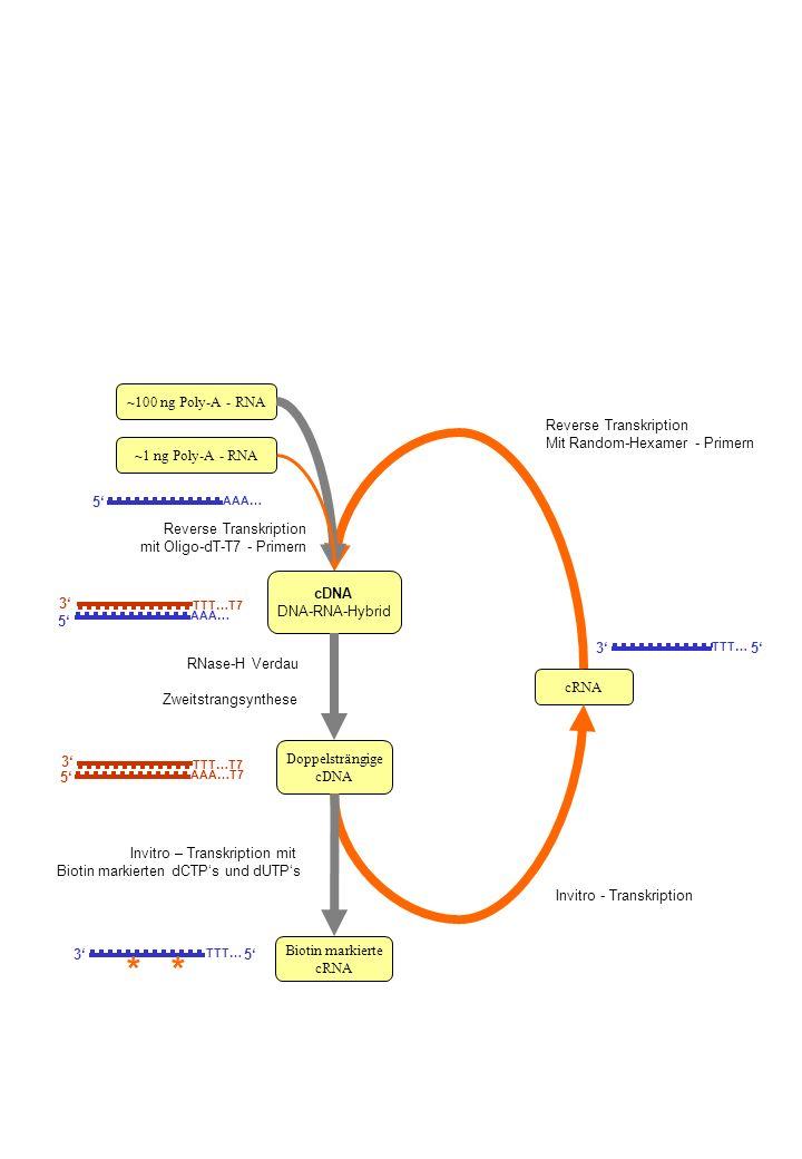 * * ~100 ng Poly-A - RNA Reverse Transkription