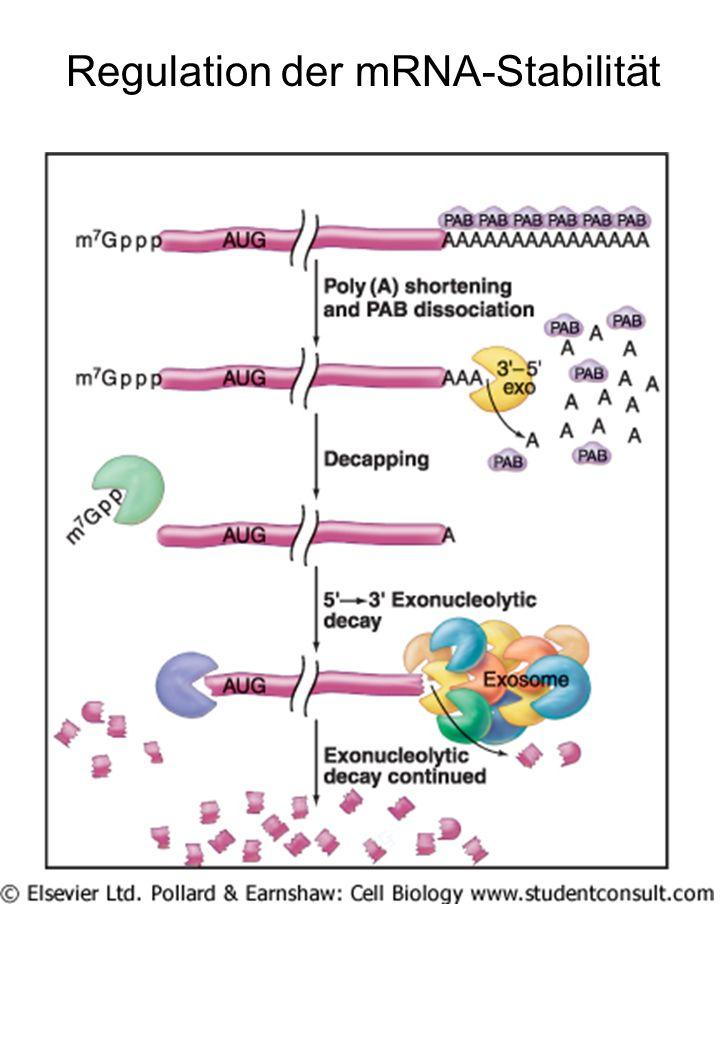 Regulation der mRNA-Stabilität