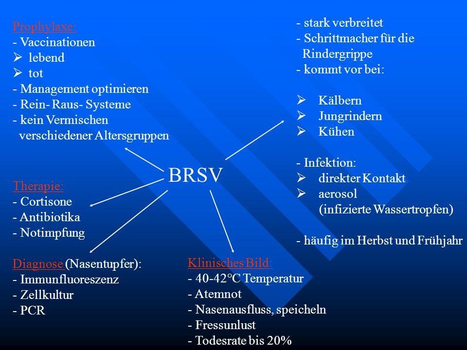 BRSV stark verbreitet Prophylaxe: Schrittmacher für die Vaccinationen
