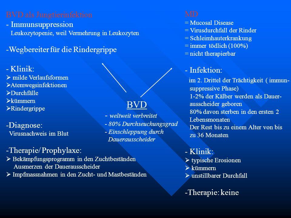 BVD BVD als Jungtierinfektion MD Immunsuppression