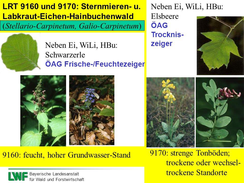 LRT 9160 und 9170: Sternmieren- u. Labkraut-Eichen-Hainbuchenwald