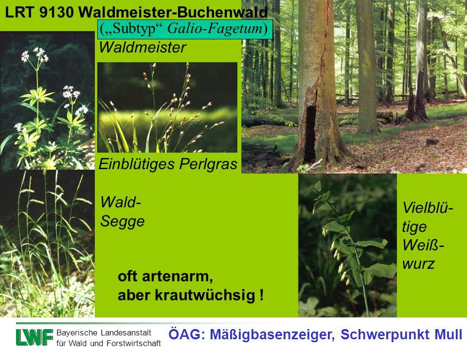 """LRT 9130 Waldmeister-Buchenwald (""""Subtyp Galio-Fagetum) Waldmeister"""