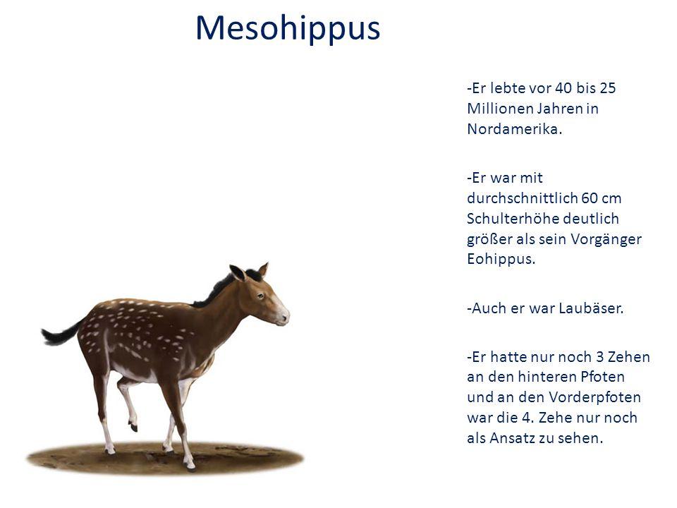 Mesohippus -Er lebte vor 40 bis 25 Millionen Jahren in Nordamerika.
