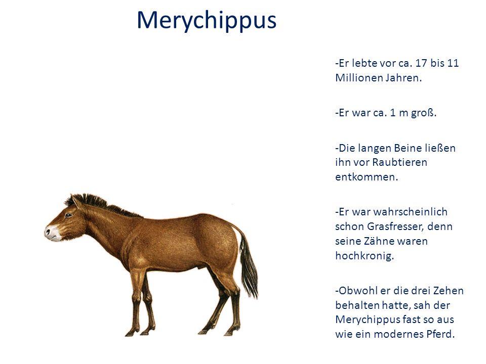Merychippus -Er lebte vor ca. 17 bis 11 Millionen Jahren.