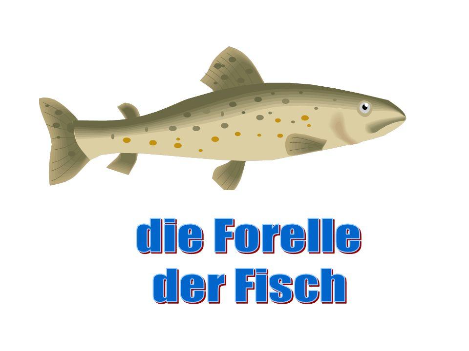 die Forelle der Fisch