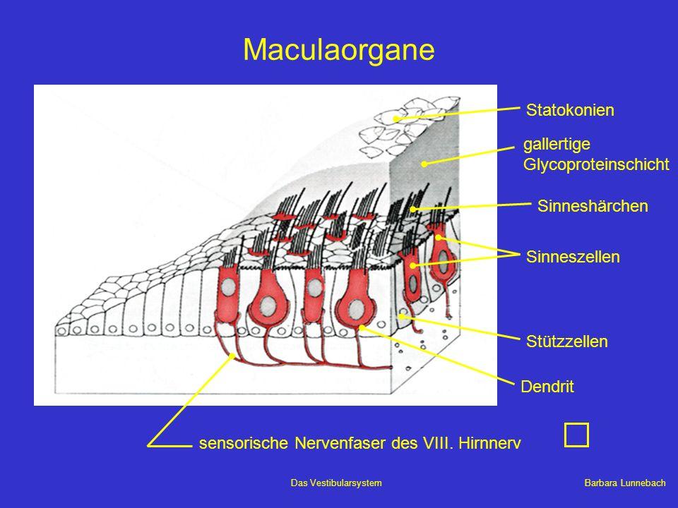 Maculaorgane Statokonien gallertige Glycoproteinschicht Sinneshärchen