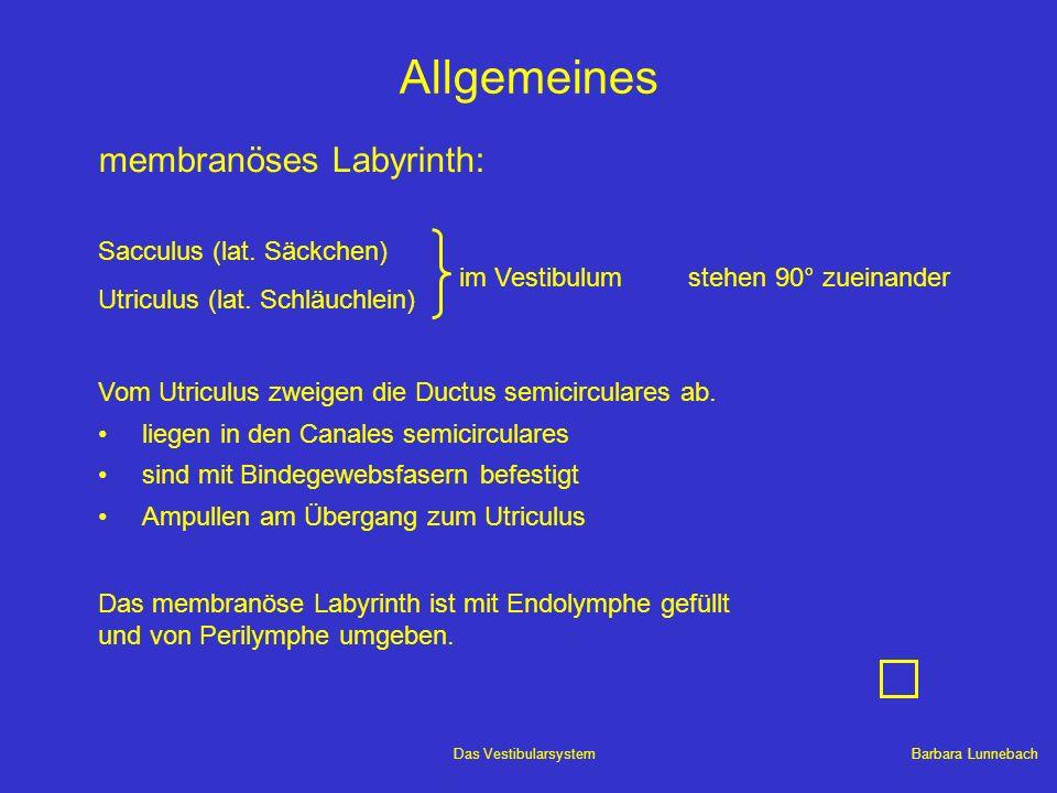 Allgemeines membranöses Labyrinth: Sacculus (lat. Säckchen)