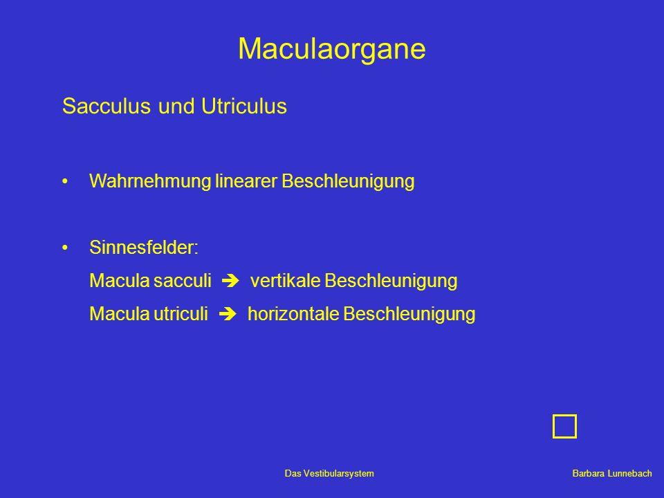 Maculaorgane Sacculus und Utriculus