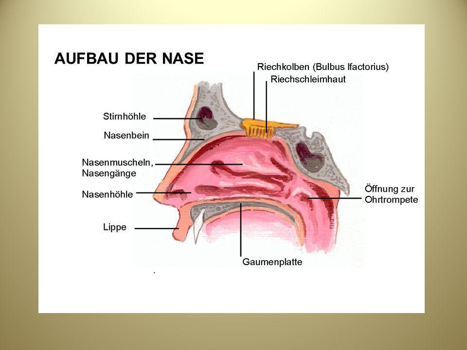 Ausgezeichnet Die Menschliche Nase Anatomie Ideen - Anatomie Ideen ...