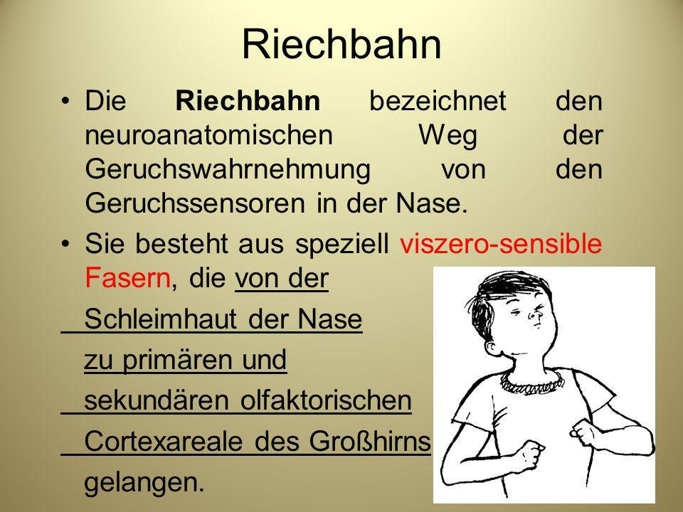 Riechbahn Die Riechbahn bezeichnet den neuroanatomischen Weg der Geruchswahrnehmung von den Geruchssensoren in der Nase.