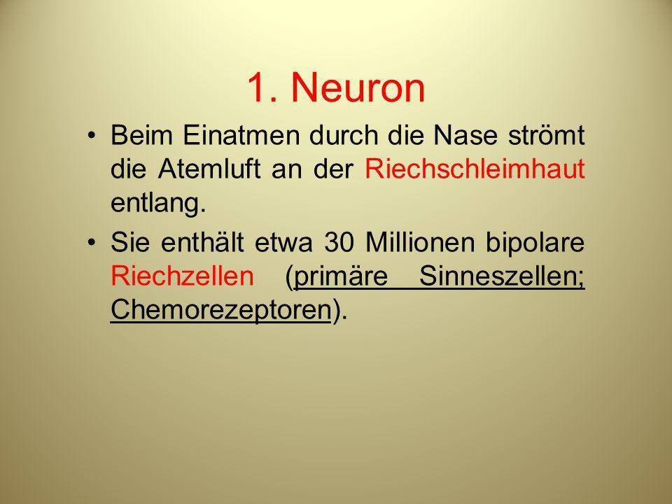 1. Neuron Beim Einatmen durch die Nase strömt die Atemluft an der Riechschleimhaut entlang.