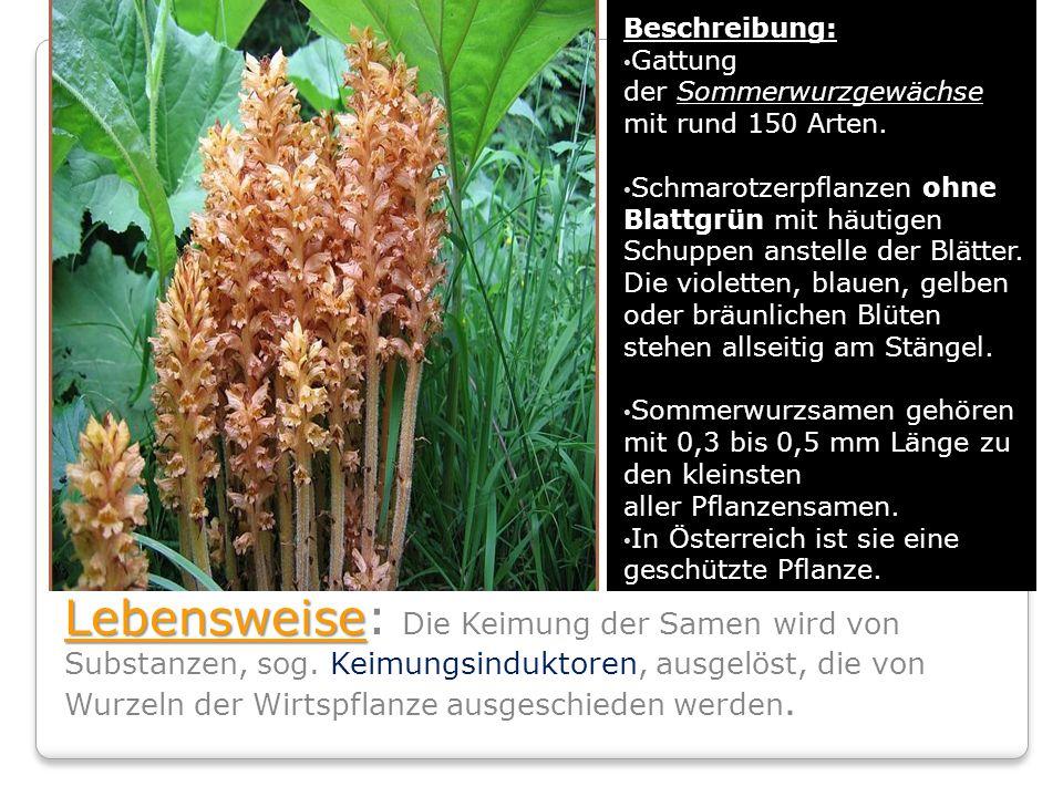 Beschreibung: Gattung der Sommerwurzgewächse. mit rund 150 Arten.