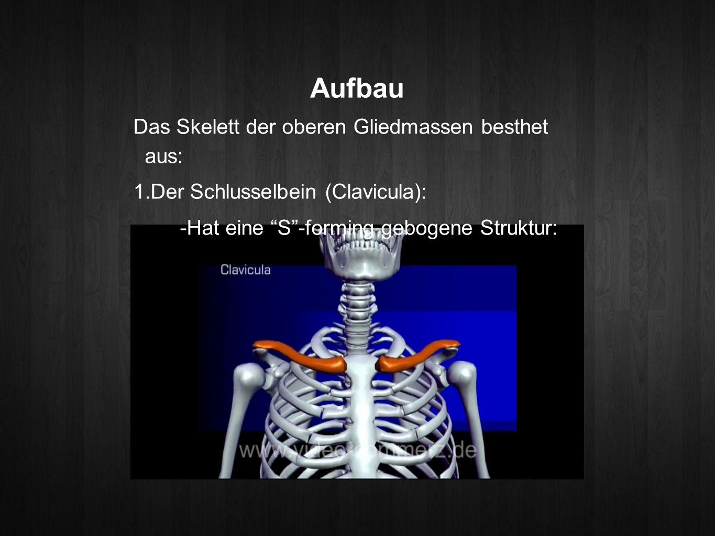 Aufbau Das Skelett der oberen Gliedmassen besthet aus: