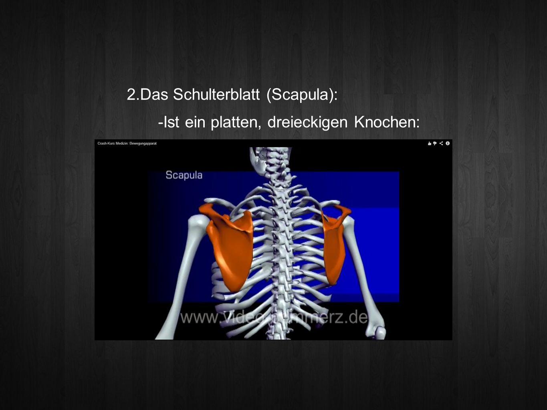 Das Schulterblatt (Scapula):