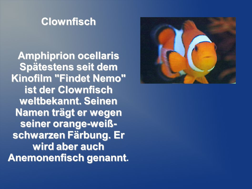Clownfisch Amphiprion ocellaris.