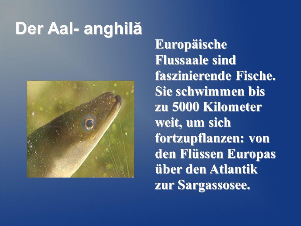 Der Aal- anghilă