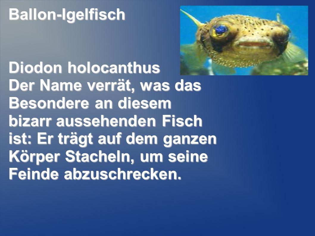 Ballon-Igelfisch Diodon holocanthus.