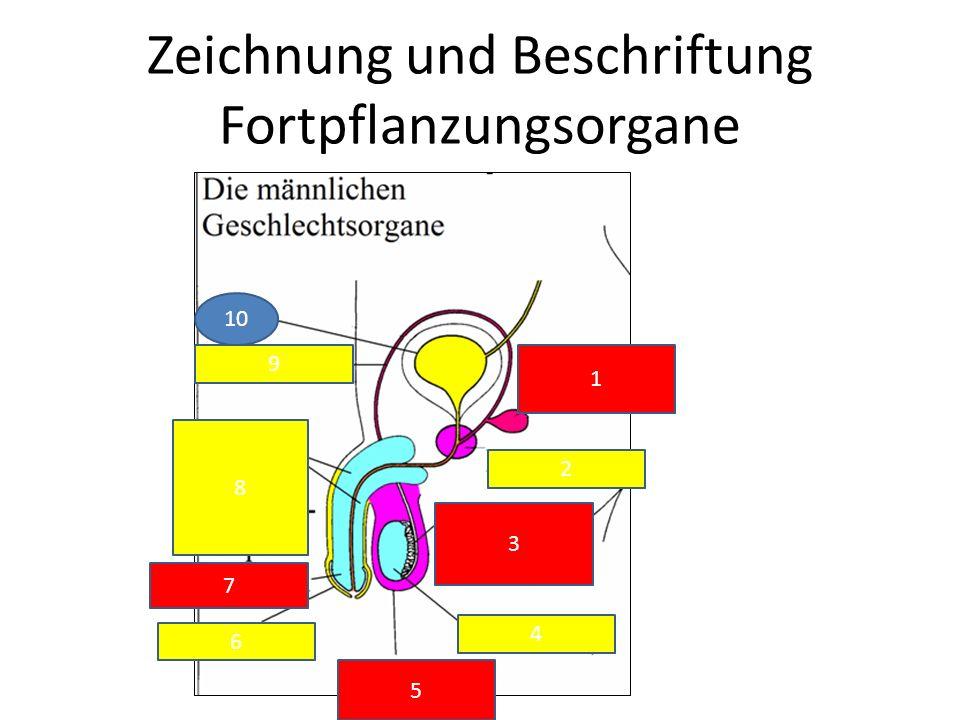 Zeichnung und Beschriftung Fortpflanzungsorgane
