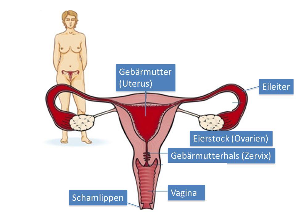 Großzügig Uterus Und Ovarien Zeitgenössisch - Menschliche Anatomie ...