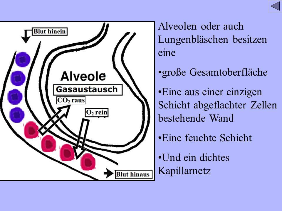 Alveolen oder auch Lungenbläschen besitzen eine