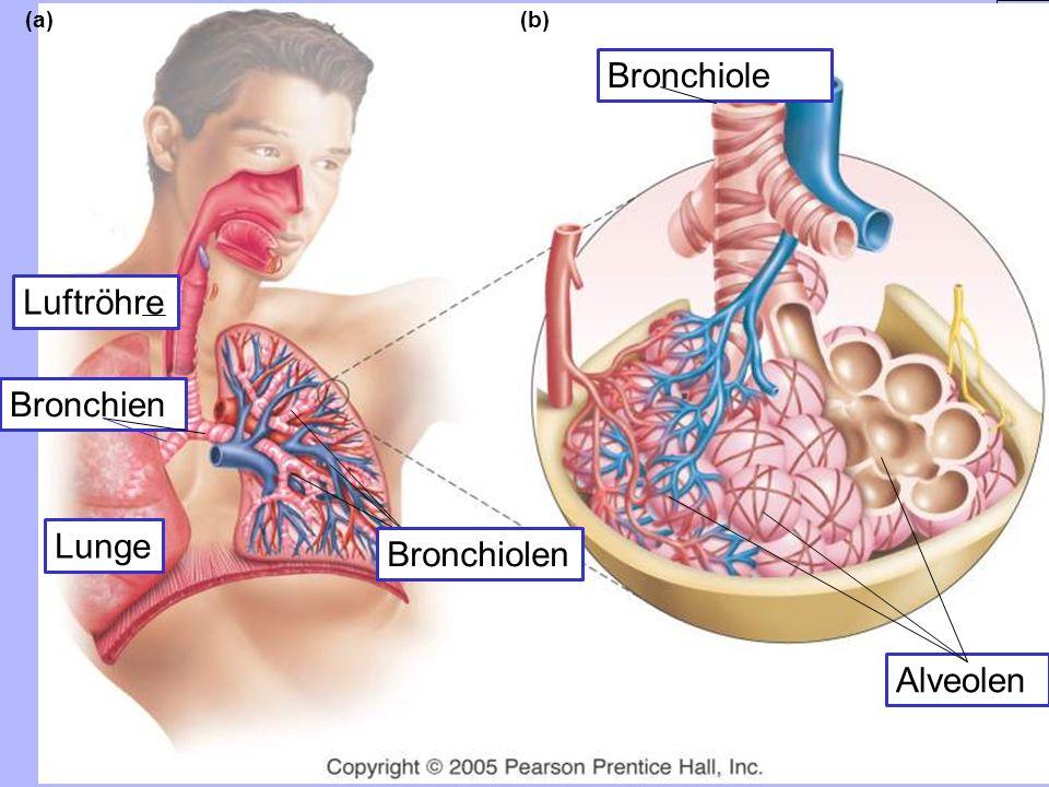 Bronchiole Luftröhre Bronchien Lunge Bronchiolen Alveolen (a) (b)