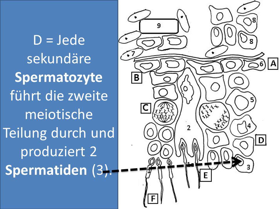 D = Jede sekundäre Spermatozyte führt die zweite meiotische Teilung durch und produziert 2 Spermatiden (3).