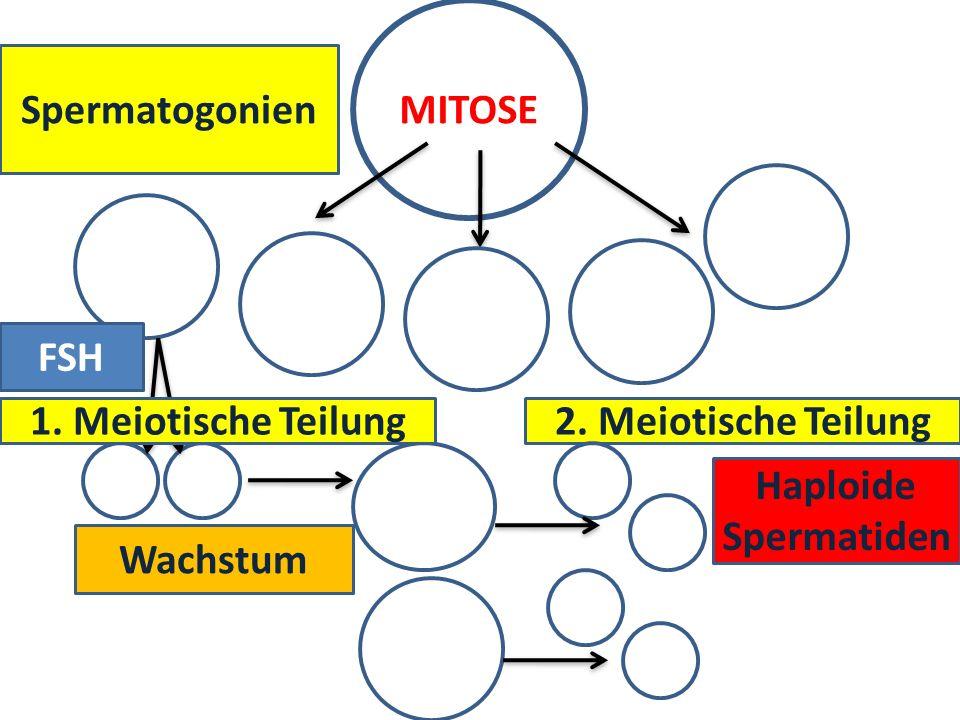 MITOSE Spermatogonien FSH 1. Meiotische Teilung 2. Meiotische Teilung Haploide Spermatiden Wachstum