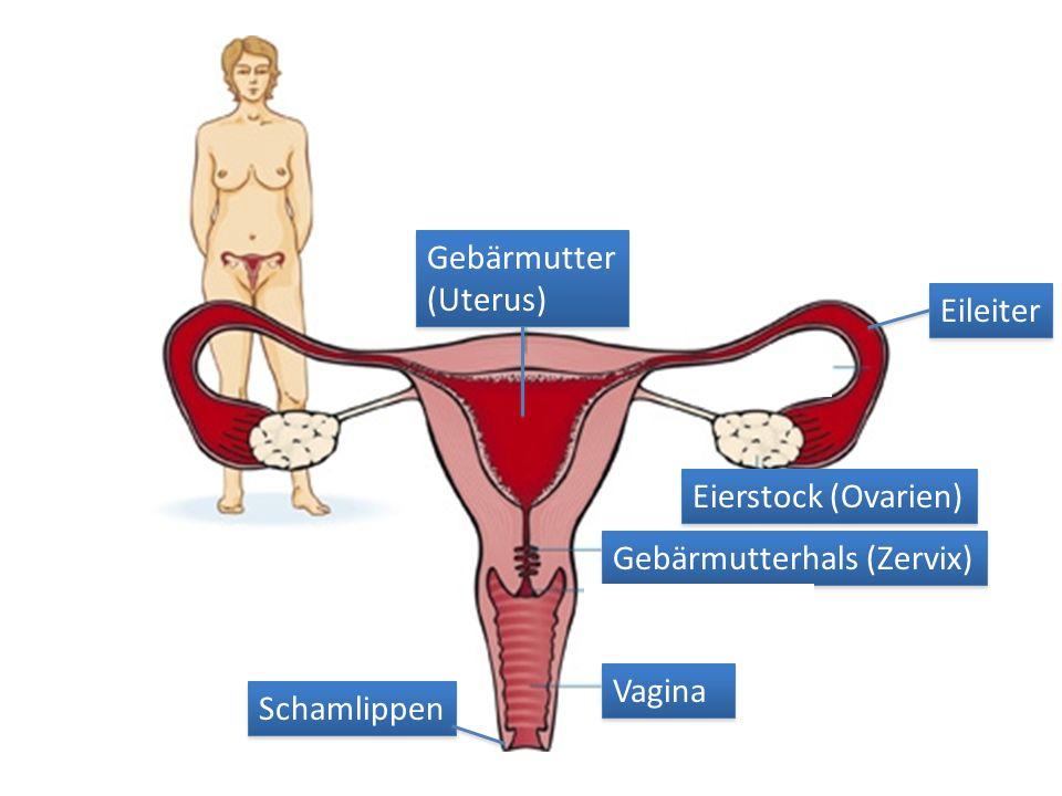 Gebärmutter (Uterus) Eileiter Eierstock (Ovarien) Gebärmutterhals (Zervix) Vagina Schamlippen