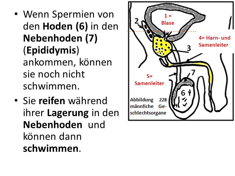 Wenn Spermien von den Hoden (6) in den Nebenhoden (7) (Epididymis) ankommen, können sie noch nicht schwimmen.
