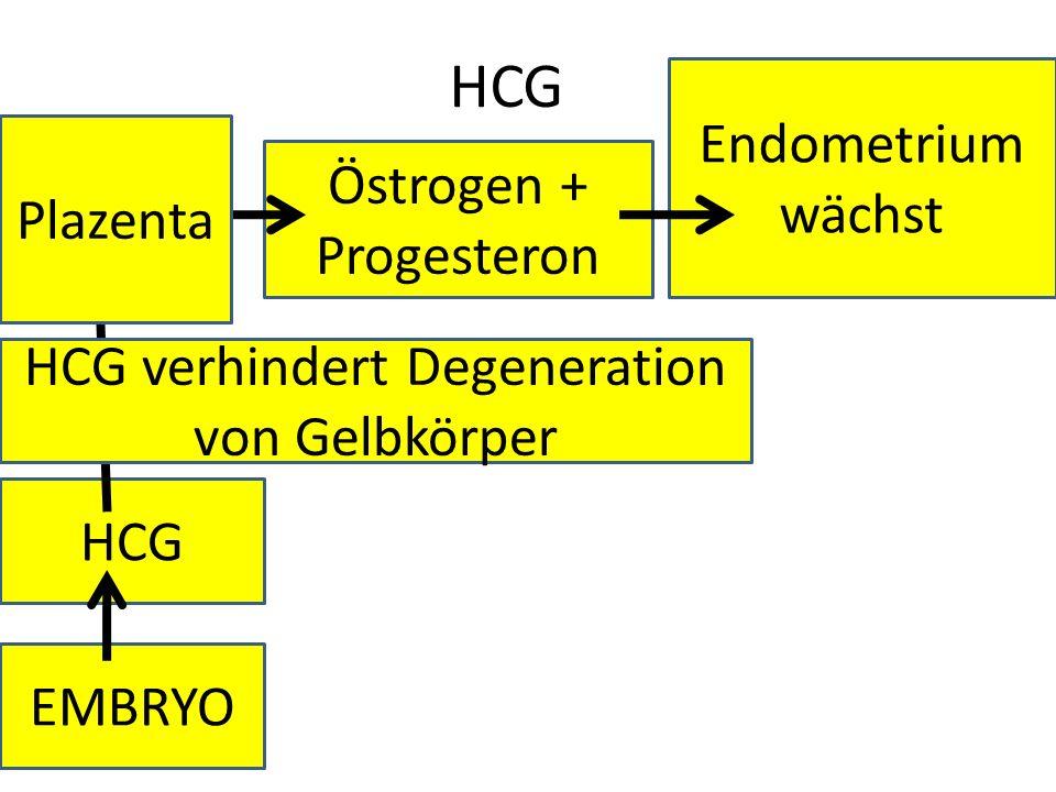 HCG Endometrium wächst Plazenta Gelb-körper Östrogen + Progesteron