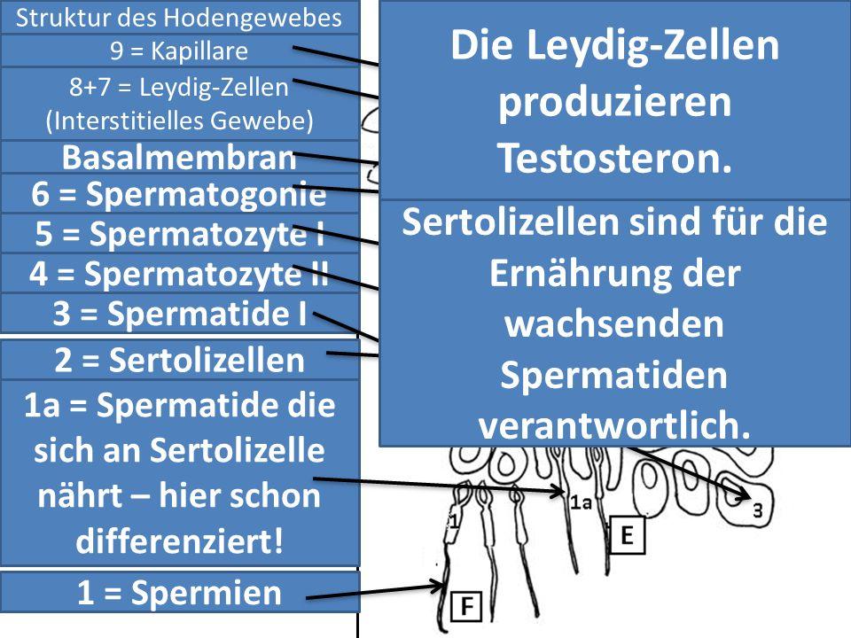 Die Leydig-Zellen produzieren Testosteron.