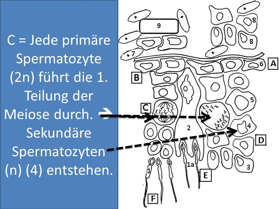 C = Jede primäre Spermatozyte (2n) führt die 1