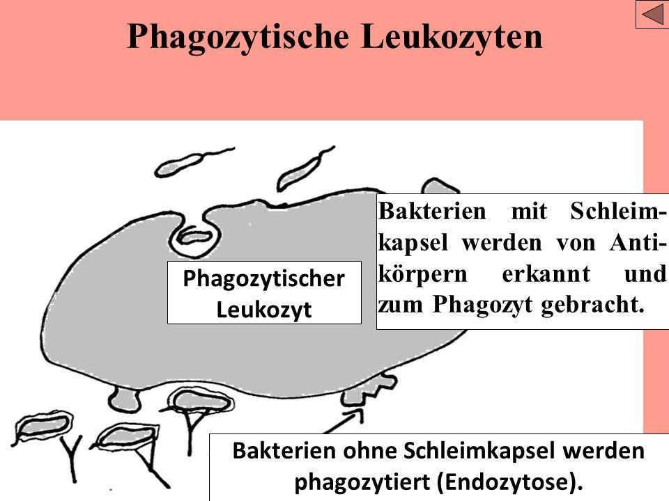 Phagozytische Leukozyten