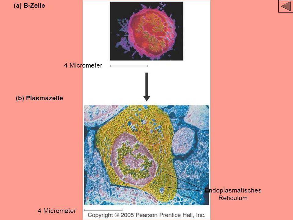 Endoplasmatisches Reticulum