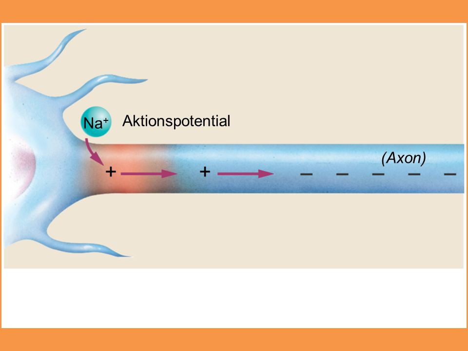 + + Aktionspotential Na+ (Axon)