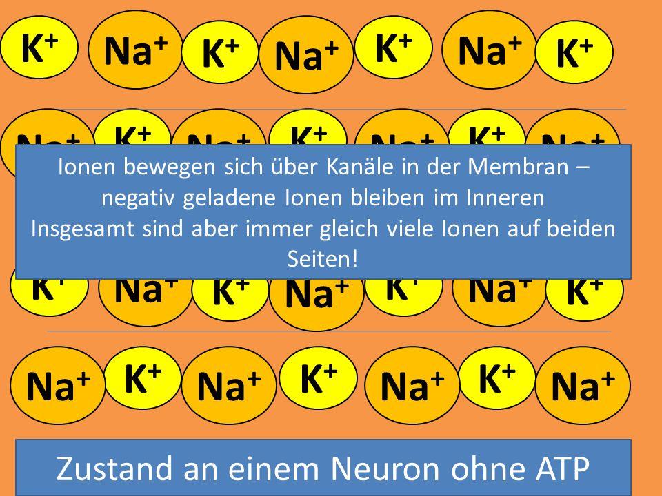 - - - Na+ Na+ K+ Na+ K+ K+ K+ Na+ K+ Na+ K+ Na+ K+ Na+ Na+ Na+ K+ Na+