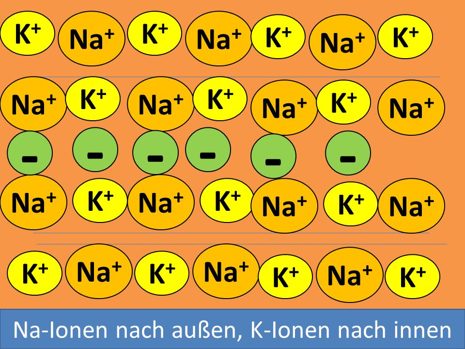 - - - - - - K+ Na+ K+ Na+ K+ Na+ K+ Na+ K+ Na+ K+ Na+ K+ Na+ Na+ Na+