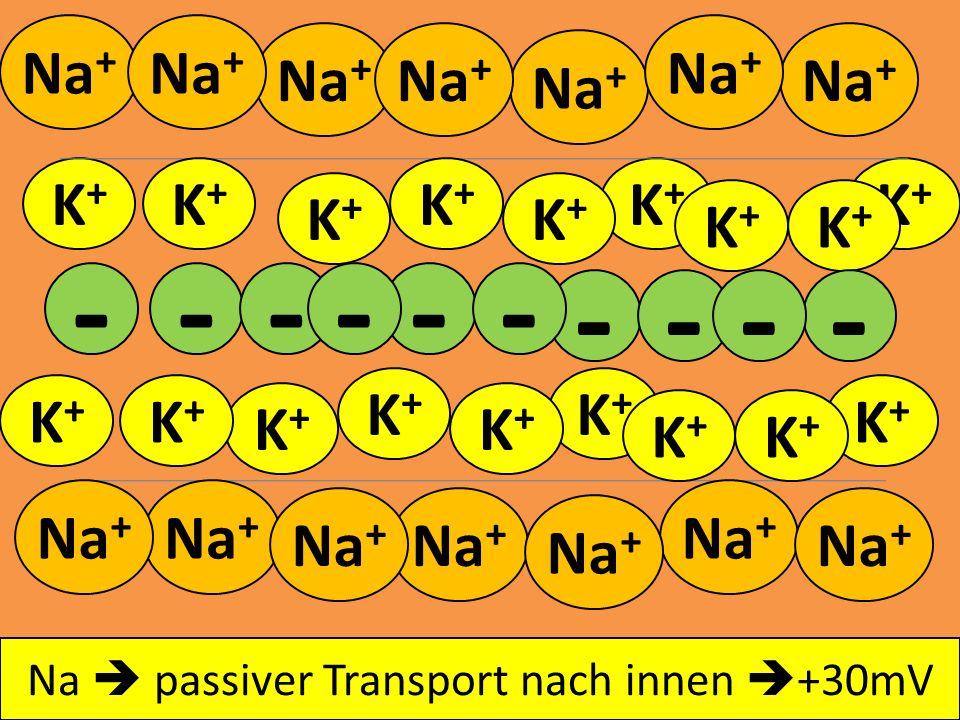 - - - - - - - - - - Na+ Na+ Na+ Na+ Na+ Na+ Na+ K+ K+ K+ K+ K+ K+ K+