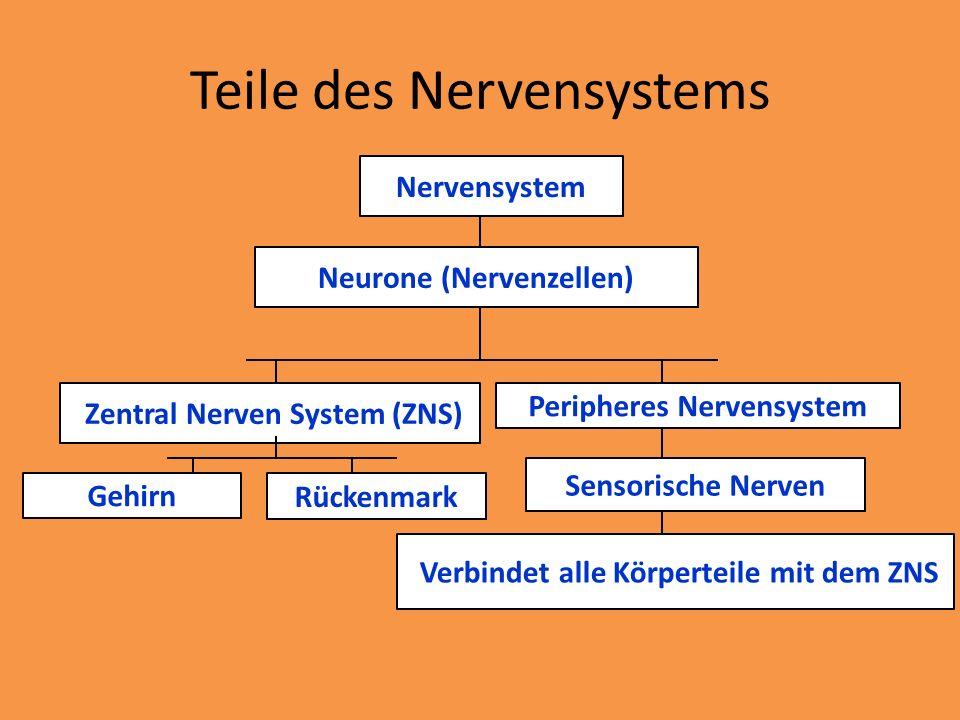 Teile des Nervensystems