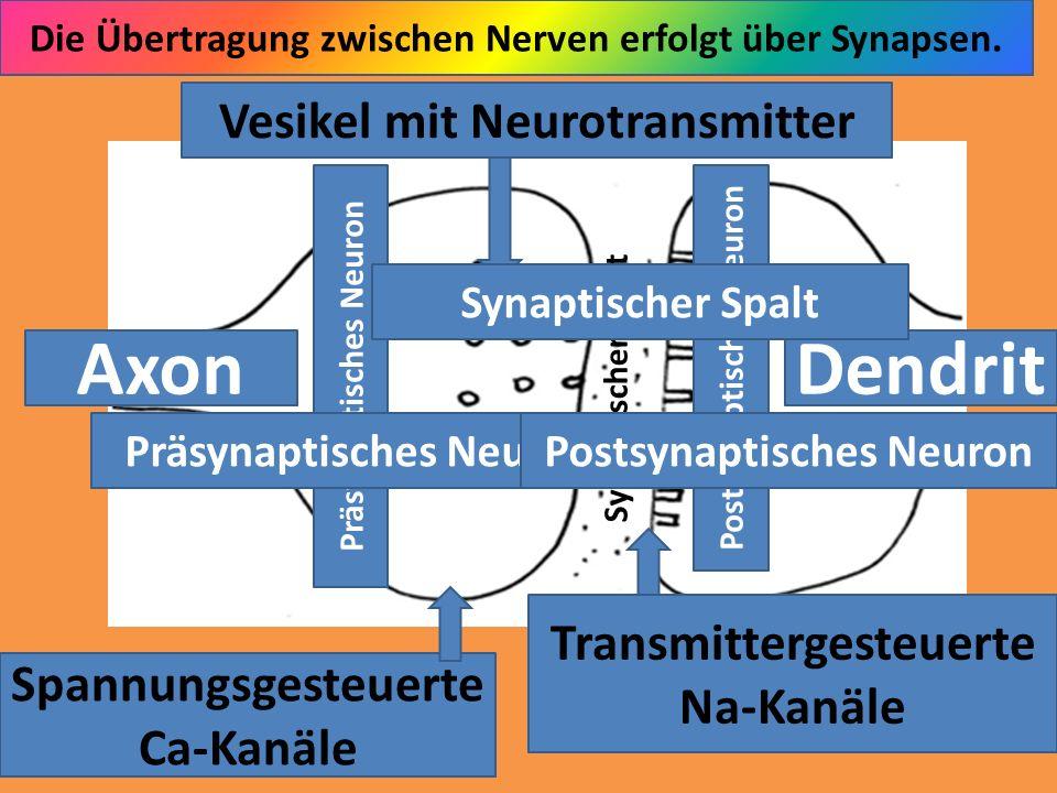 Axon Dendrit Vesikel mit Neurotransmitter