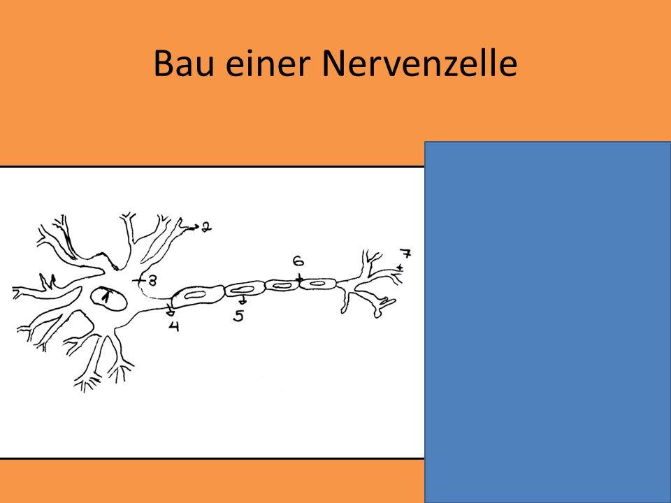 6 = Ranvierscher Schnürring 7 = motorische Endplatte