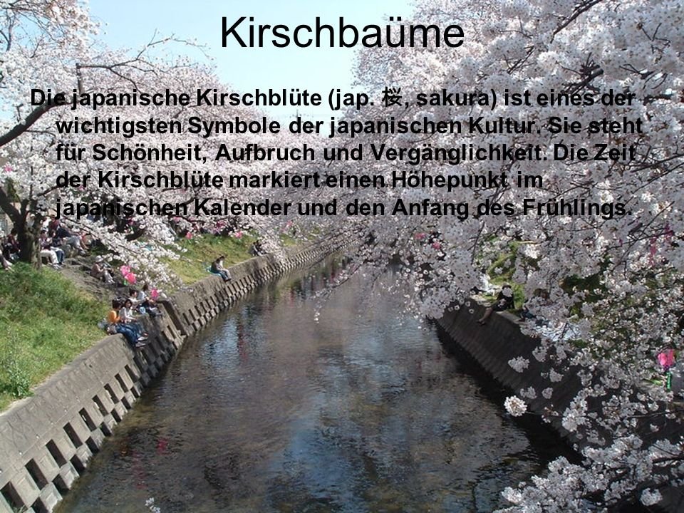Kirschbaüme