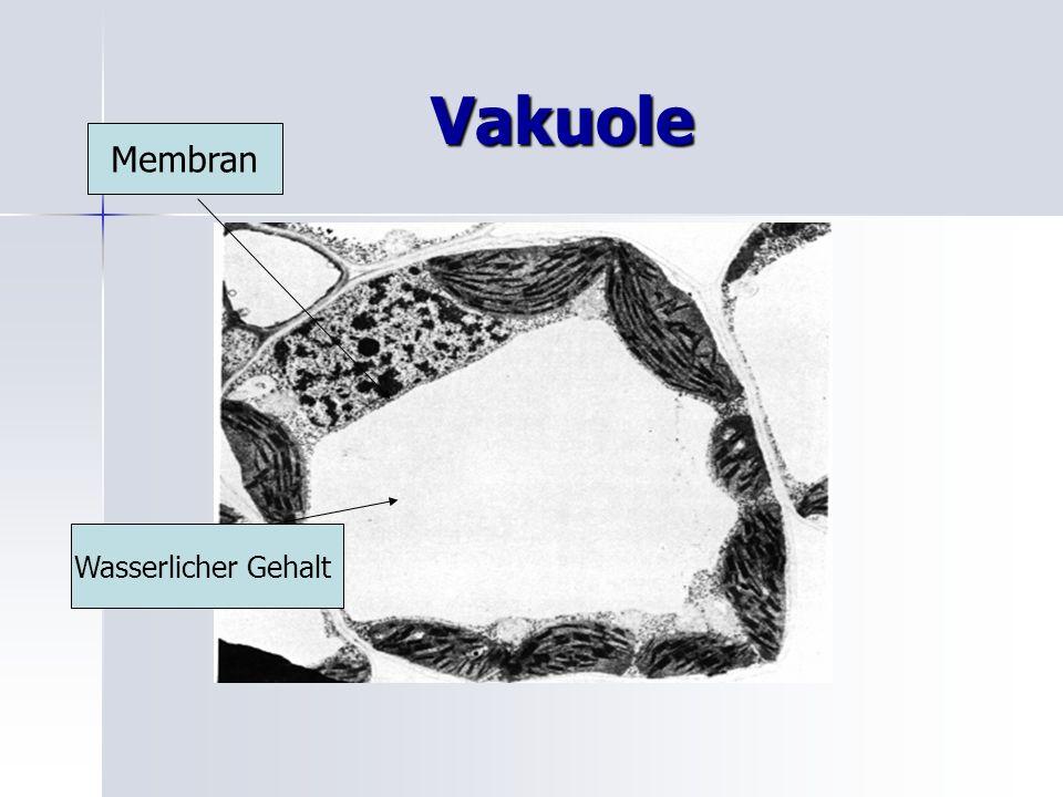 Vakuole Membran Wasserlicher Gehalt